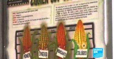 Maïs OGM-Bio en Espagne