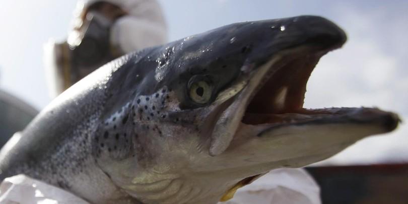 saumon-ogm