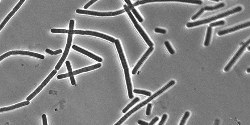 Bacillus-Cereus