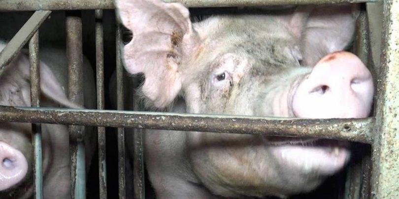 L214 - Elevage de porcs en Bretagne